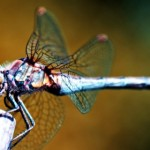 Dragonfly Wallpaper 2560X1600