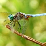 dragonfly-wallpapeeer-1